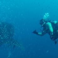 WhaleSharkDiver
