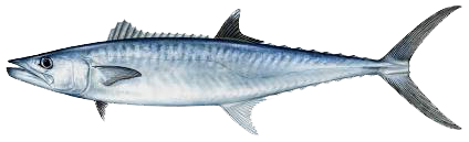 KingMackerel